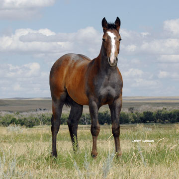 Royal Quick Dash Stallion http://frenchmansquarterhorses.com/ForSale1_FQH.htm